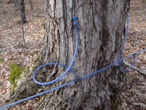 The sap flowing out of the tap joins a network of tubing flowing downhill
