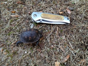 Baby map turtle next to a 3 1/2 inch pocket knife