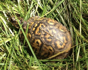 Mature Common Box Turtle (Terrapene Carolina, Linnaeus) (yellow phase)