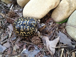 Mature Common Box Turtle (Terrapene Carolina, Linnaeus) (dark phase)