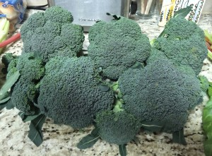 Fresh cut broccoli from the garden