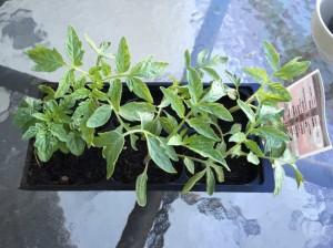 Different Tomato Variety Leaf Patterns