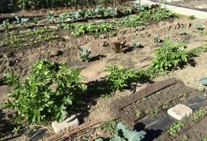 Rows of seedlings becoming established