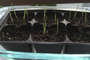 Germinating garlic bulbils