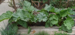 Rhubarb plants growing in the garden