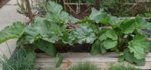 Rhubarb plants growing in the garden