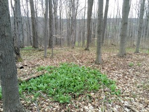 Ramps growing in the Spring in the western NY forest