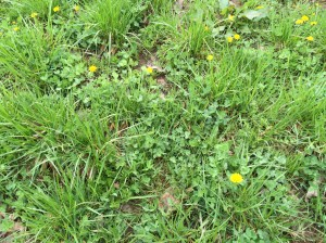 Grass, Clover and Dandelions starting to grow!!