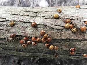 Overwintering Ladybugs waking up!