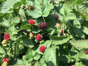 Ripening Boysenberries
