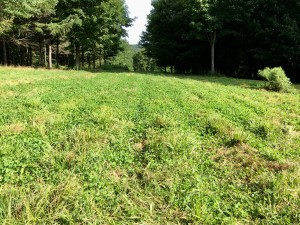 3 year old neglected Imperial Whitetail Clover food plot