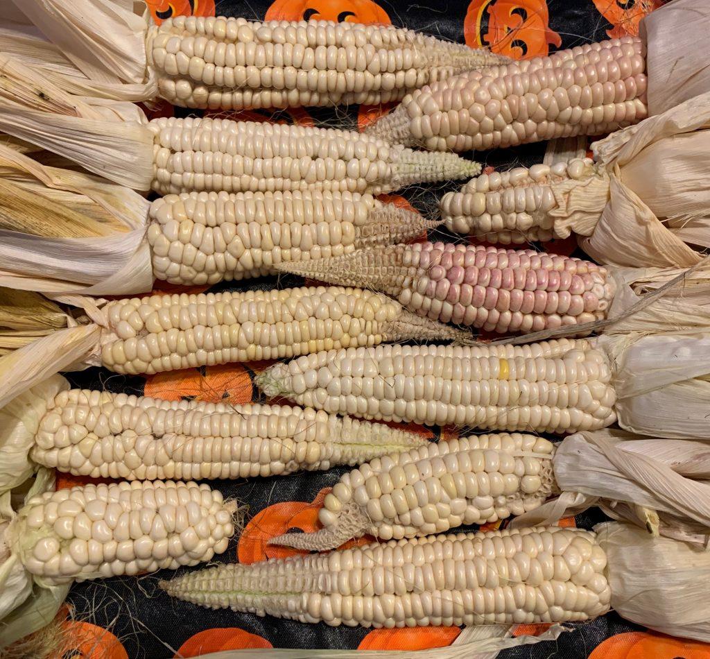 Seneca Round Nose Corn