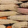 Seneca Corn