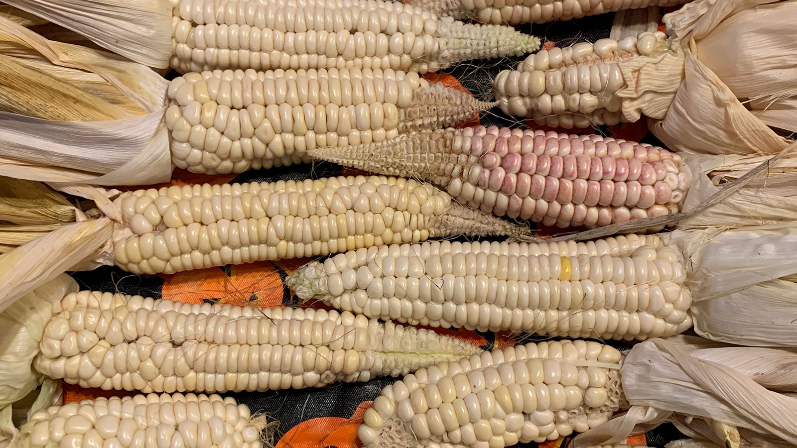 Seneca Round Nose Corn #1
